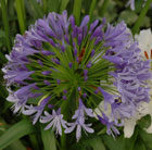 Agapanthus 'Lavender Haze' (African lily)