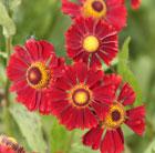 Helenium 'Ruby Tuesday' (sneezeweed)