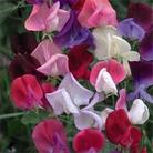 Flower Seeds - Sweet Pea Heirloom Bicolour