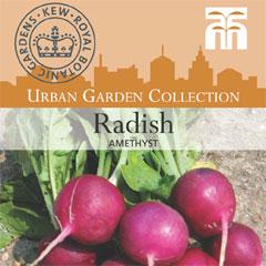 Urban Seed Collection - Radish Amethyst
