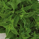 Spring Planting - Mint Spearmint Brundall-1 Root