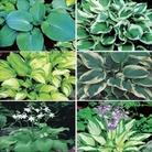 Hosta Collection 6 Jumbo Ready Plants