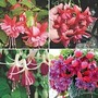 Fuchsia Colourful Collection 12 jumbo plants