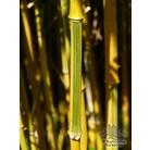 BAMBOO Phyllostachys vivax 'Aureocaulis'
