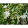 JASMINUM officinale affine &#x27;Argentovariegatum&#x27; 