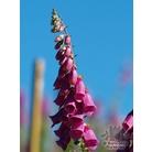 DIGITALIS purpurea Excelsior hybrids