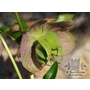 HELLEBORUS orientalis  