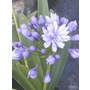 AGAPANTHUS praecox 'Flore Pleno'