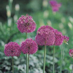 Autumn Bulbs-Allium Purple Sensation- Pack of 5 Bulbs