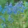 Autumn Bulbs-English Grown Bluebell-7 Bulbs