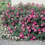 Cistus Purpureus x 5 Plants