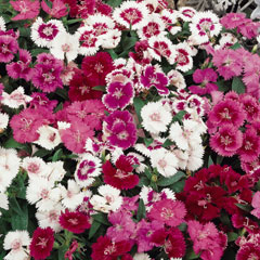 Dianthus Mixed - 60 Plug Plants