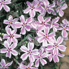 Phlox Candy Stripes