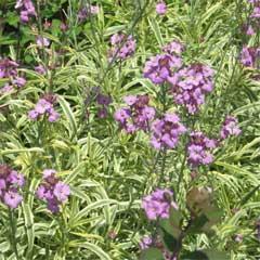 Erysimum Variegatum - 5 Plants