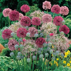Allium Cottage Garden Mix Bulbs - 50 Bulbs