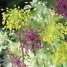 Allium Firecracker Mixed Bulbs - 15 Bulbs