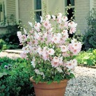 Lavatera Barnsley Baby - 3 Plug Plants