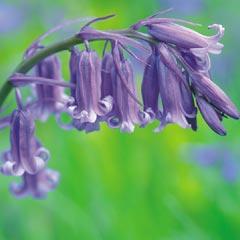 Autumn Bulbs-English  Bluebells (Scilla Nutans) - 25 Bulbs
