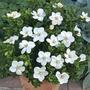 Gardenia Kleims Hardy - 1 Plant