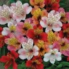 Alstromeria Planet Mixed - 5 Plants