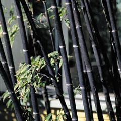 Black Bamboo - 1 Plant