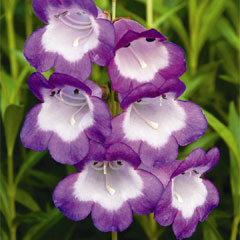 Penstemon Pensham Trio - 15 Plug Plants