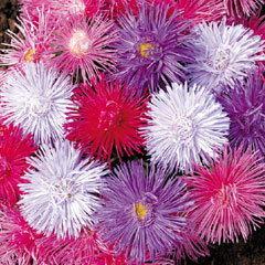 Spring Plants - Aster Starlight - 72 Postie Plug Plants