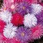 Spring Plants - Aster Starlight - 72 Postie Plug Plants