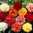 Spring Plants - Carnations Everblooming - 36 Postie Plug Plants