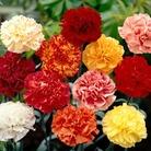 Spring Plants - Carnations Everblooming - 72 Postie Plug Plants
