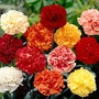Carnations Everblooming - 72 Plug Plants + 12 Free