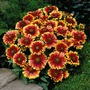 Gaillardia Arizona Sun - 3 Plants