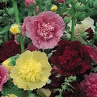 Hollyhock Chaters Double - 6 Jumbo Plug Plants