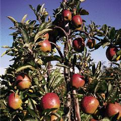 Spring Plants - Apple Braeburn - 1 Tree