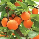 Apricot Moorpark - 1 Tree