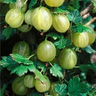 Spring Plants - Gooseberry Invicta - 1 Bush