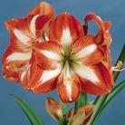 Amaryllis Bulb Gift Pack