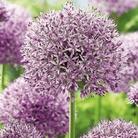 Autumn Bulbs-Allium Gladiator -1 Bulb