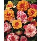Spring Bulbs - Begonia Blazing Picotee - 4 Bulbs