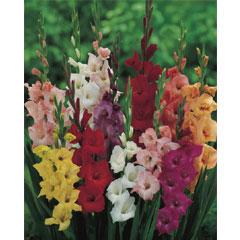 Spring Bulbs - Gladioli Mixed- Value Pack of 25 Bulbs