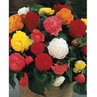 Spring Bulbs - Double Begonia Mixed - Value Pack of 6