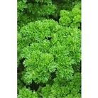 Parsley (Curled) x 1000 seeds