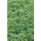 Parsley (Plain leaved) x 1000 seeds