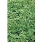 Parsley (Plain leaved) x 1000 seeds