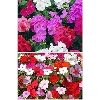 Geranium & Bizzie Lizzie Multi Pack x 132 plants