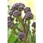 Broccoli Purple Sprouting x 500 seeds