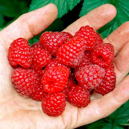 Raspberry Plants - Sanibelle
