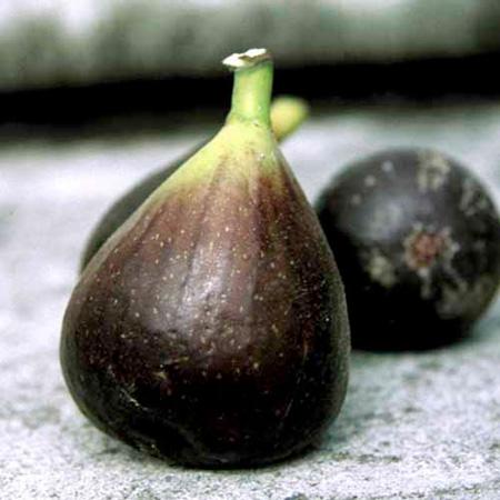 Fig Plant - Morena