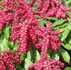 Pieris japonica 'Valley Valentine' (lily of the valley shrub)