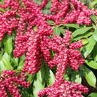 Pieris japonica 'Valley Valentine' (lily of the valley shrub)